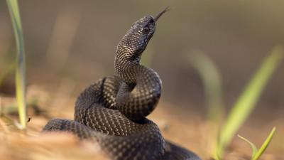 Какие змеи обитают на территории ДНР